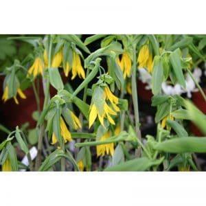 UNVULARIA Grandiflora