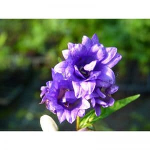 CAMPANULE Trachelium Bernice