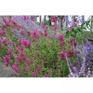 AGASTACHE Red Fortune