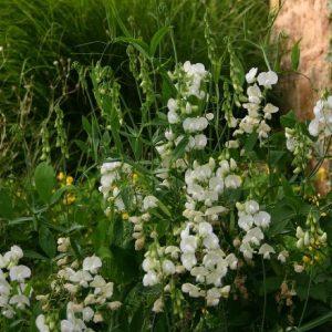 LATHYRUS Latifolius White Pearl
