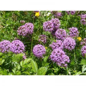 ALLIUM Montanum Senescens